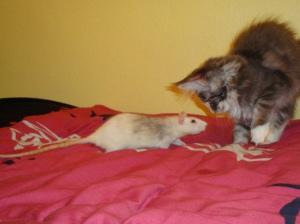 Ratte mit Katze