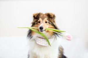 Bailey hält Tulpe